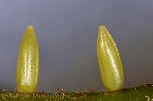 Brimstone eggs