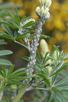 Lupine aphid