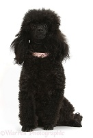 Black toy poodle bitch
