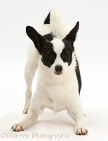 Papillon x Jack Russell in play-bow