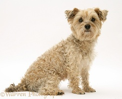 Cairn Terrier sitting