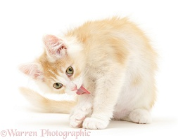 Light ginger Maine Coon kitten licking his arm