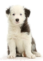 Blue-and-white Border Collie pup, sitting