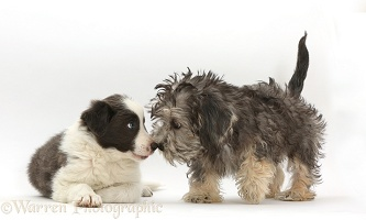 Dandy Dinmont Terrier and Border Collie puppies