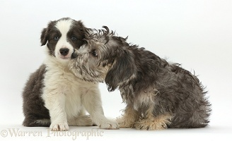 Dandie Dinmont Terrier and Border Collie puppies