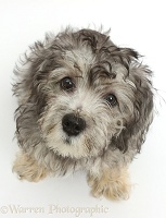 Dandy Dinmont Terrier puppy sitting