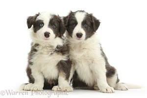 Blue-and-white Border Collie pups, sitting