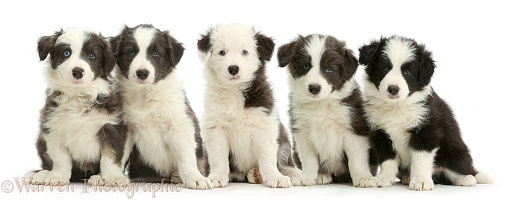 Five Border Collie puppies sitting in a row