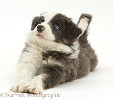 Border Collie puppy lying playfully stretched out