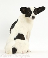 Papillon x Jack Russell dog