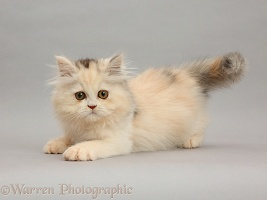 Persian kitten on grey background