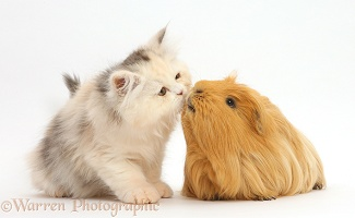 Persian kitten kissing Guinea pig
