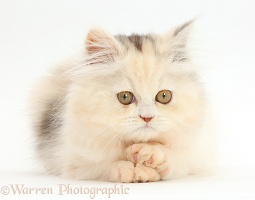 Persian kitten with paws crossed