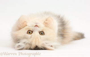 Persian kitten lying on her back