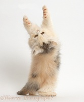 Persian kitten reaching and grasping over backwards