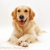 Golden Retriever dog with paws crossed