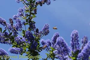 Honey Bee worker visiting Ceanothus flowers