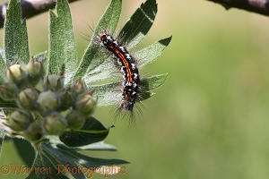 Yellow-tailed Moth caterpillar
