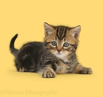 Tabby kitten in playful posture