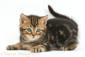 Tabby kitten, 7 weeks old, in playful posture