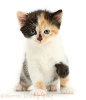 Calico kitten, 5 weeks old, sitting