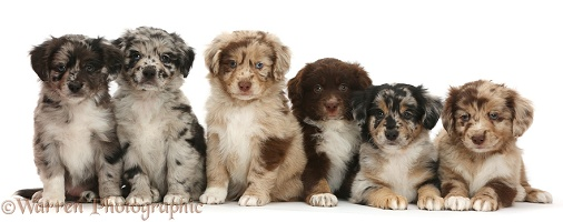 Six Mini American Shepherd puppies