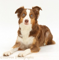 Sable-and-white Mini American Shepherd
