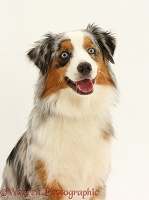 Merle-and-sable Mini American Shepherd