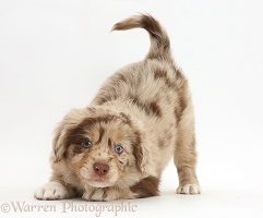 Mini American Shepherd puppy in play-bow