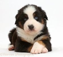 Mini American Shepherd puppy with crossed paws