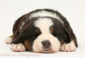 Mini American Shepherd puppy sleeping