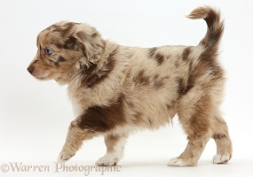 Mini American Shepherd puppy walking across