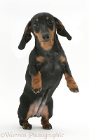 Miniature Dachshund pup jumping up