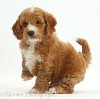 Cute playful Cockapoo puppy