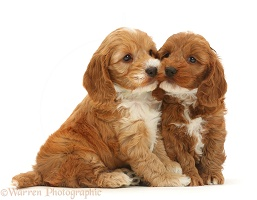 Two cute Cockapoo puppies