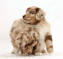 Mini American Shepherd puppies