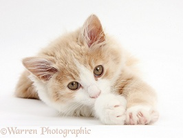 Ginger-and-white Siberian kitten, 16 weeks old