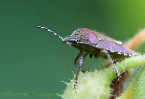 Sloe Shield Bug on Comfrey