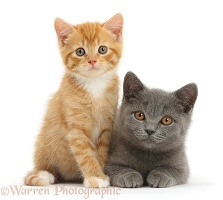 Ginger kitten and Blue British Shorthair kitten