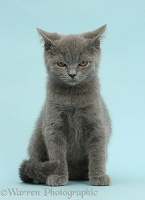 Blue British Shorthair kitten looking angry