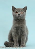 Blue British Shorthair kitten on blue background