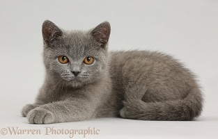 Blue British Shorthair kitten on grey background