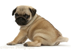 Pug puppy looking over shoulder