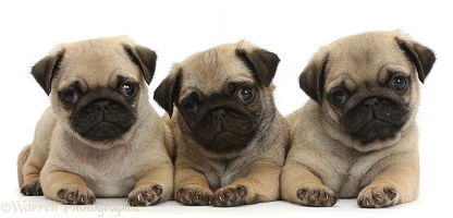 Three Pug puppies in a row