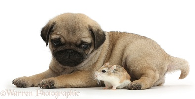 Pug puppy and Roborovski Hamster