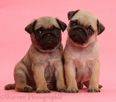 Pug puppies on pink background