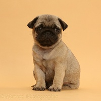 Pug puppy on beige background
