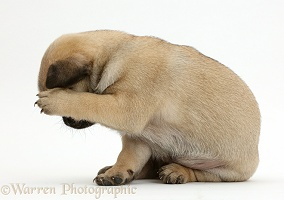 Playful Pug puppy hiding head in shame