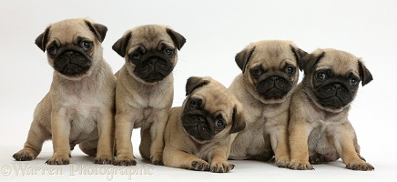 Five Pug puppies in a row