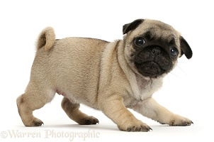 Playful Pug puppy